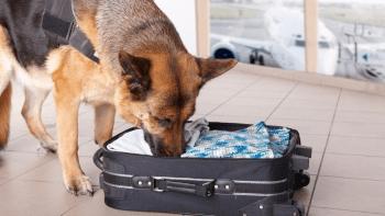 cão detector de drogas como treinar
